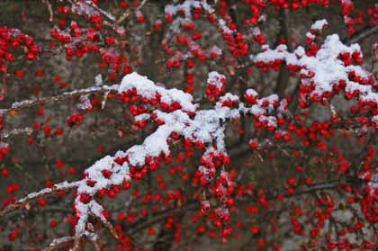 snow-berries.jpg